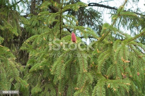 Immature cone on branch of Norway spruce in spring