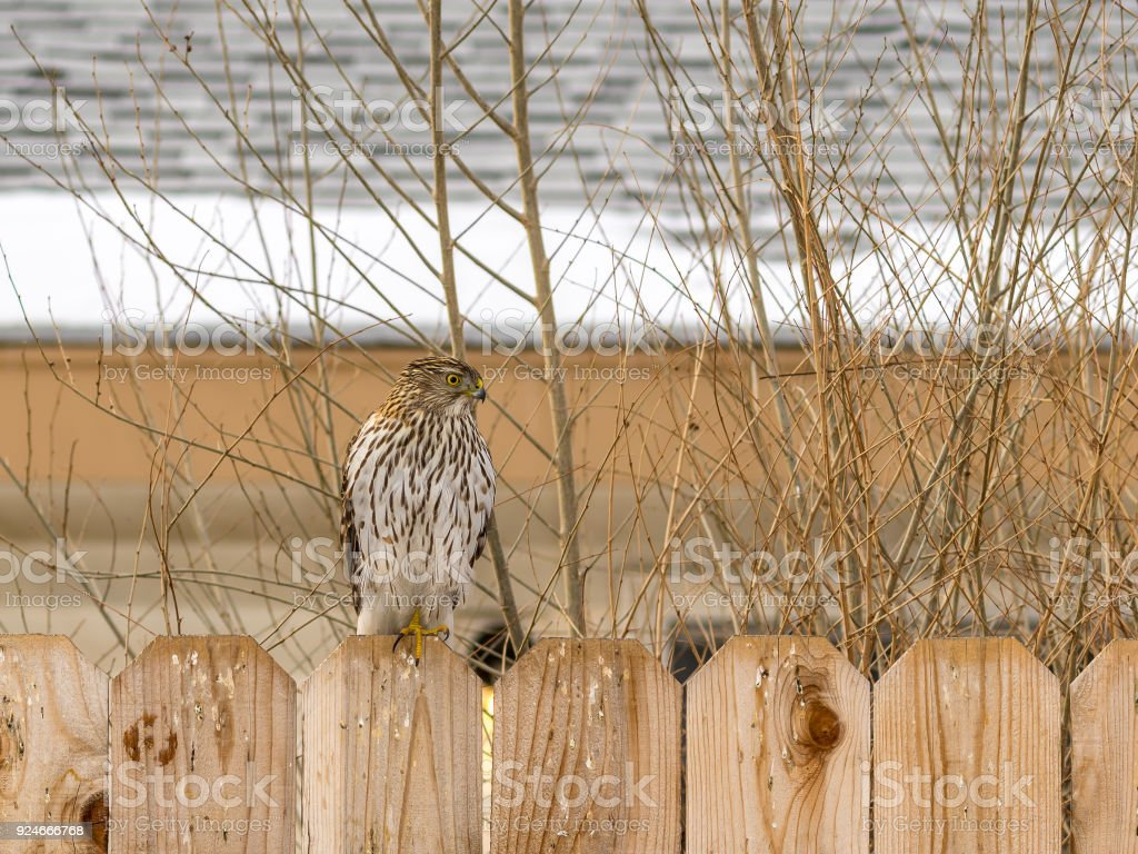 Immature Cooper's Hawk perched on a fence. stock photo