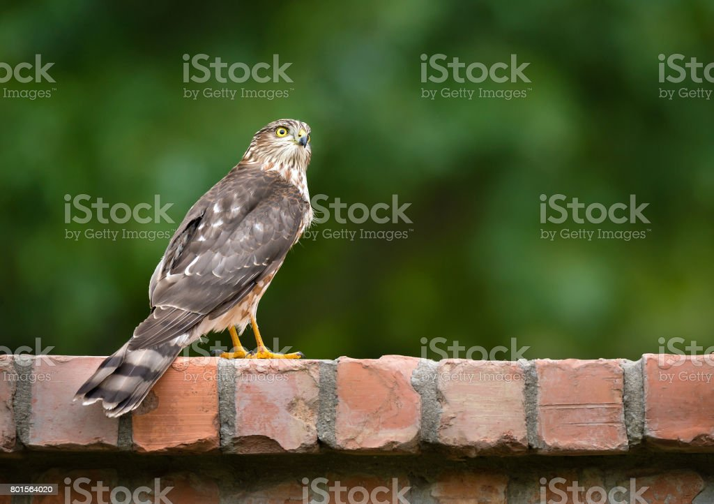 Immature Coopers Hawk (Accipiter cooperii) stock photo