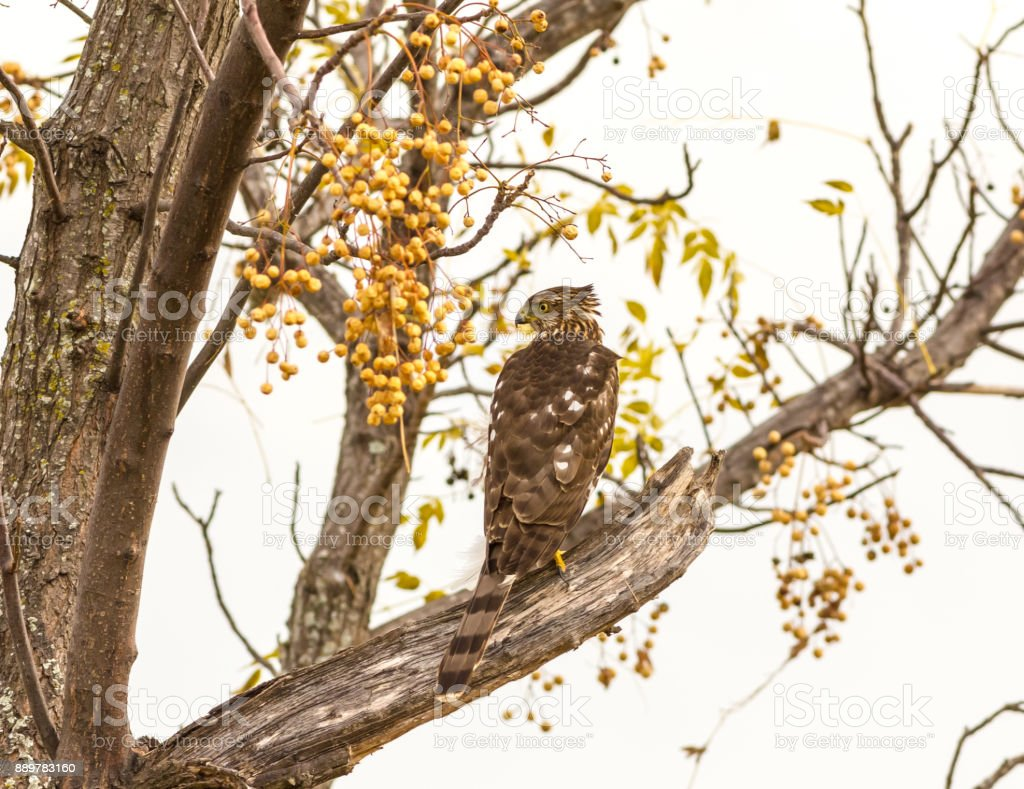 Immature Cooper's Hawk (Accipiter cooperii) stock photo