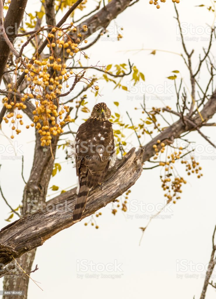 Immature Cooper's Hawk (Accipiter cooperii) Vertical Format stock photo