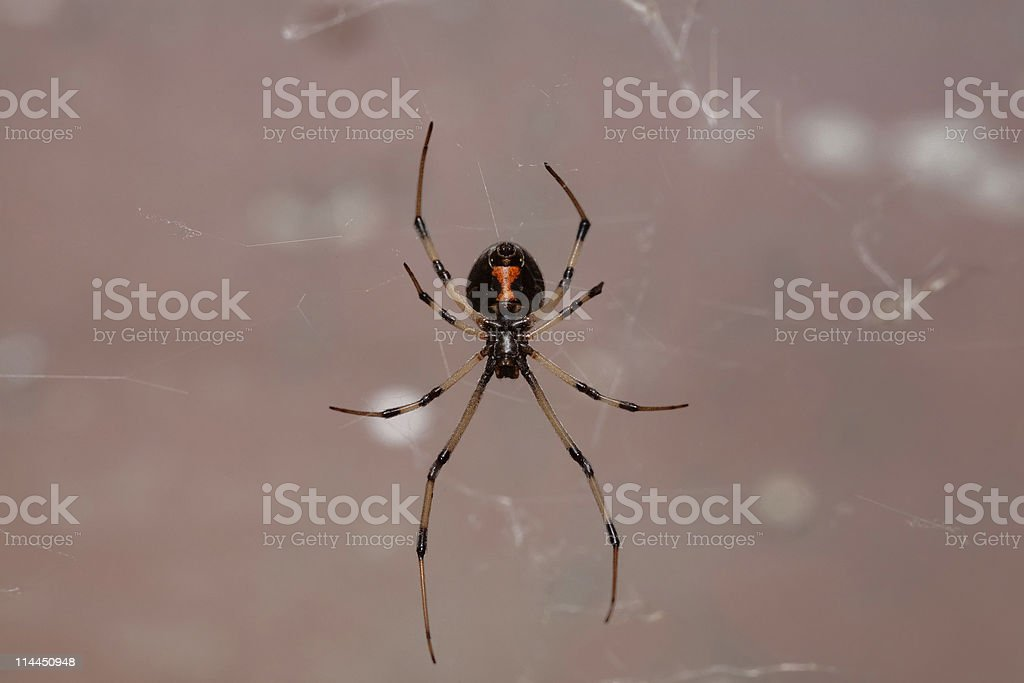 Immature Female Black Widow stock photo