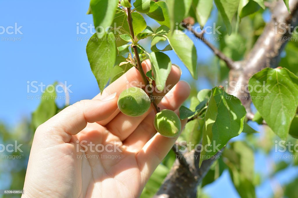 Immature Fruit Apricot on a Branch stock photo