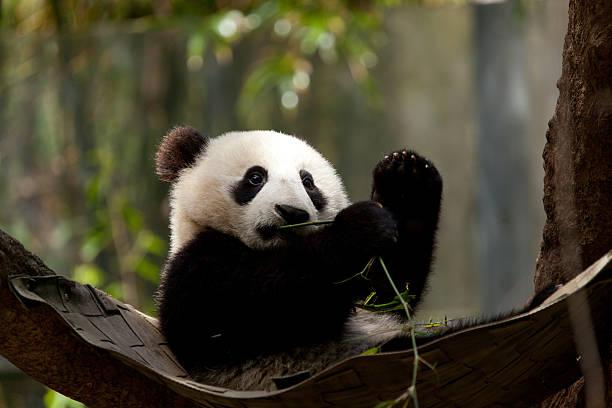Immature Giant Panda Bear stock photo