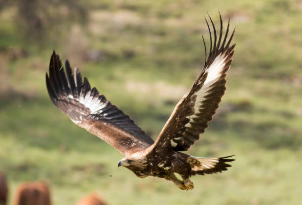 Carnivore Animals Hunting Golden Eagle Bird Stock Photos, Pictures ...