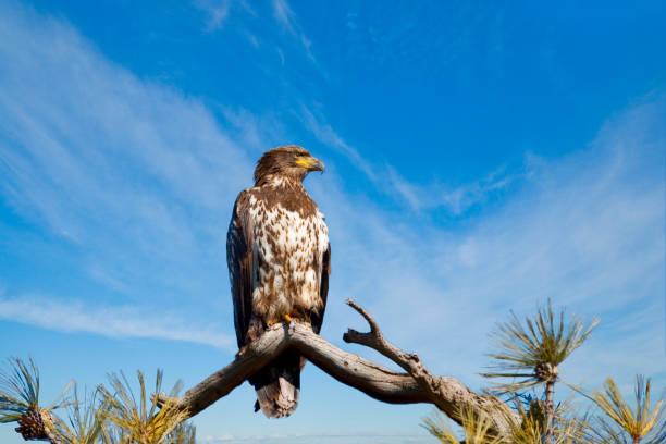 osprey zat op een tak - neerstrijken stockfoto's en -beelden
