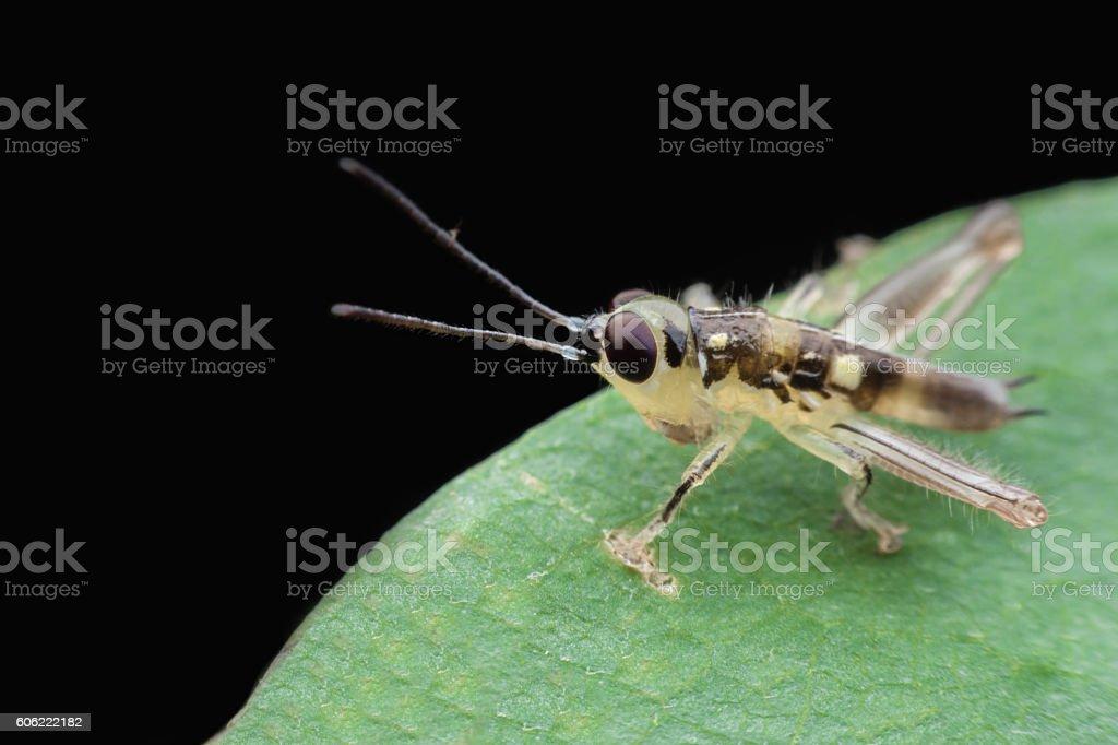 Immature grasshopper stock photo