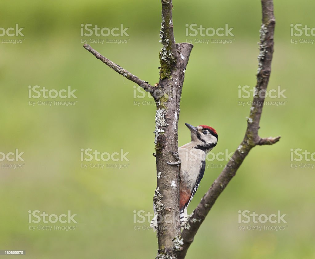 Immature Great Spotted Woodpecker (Dendrocopos major) foraging on tree stump royalty-free stock photo
