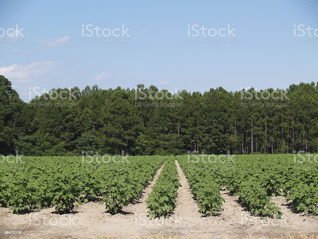 Immature Green Cotton Plants in a Field royalty-free stock photo