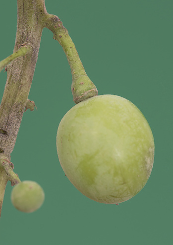 Immature green grapes hanging from the stem on a green background of intense homogeneous color flash lighting