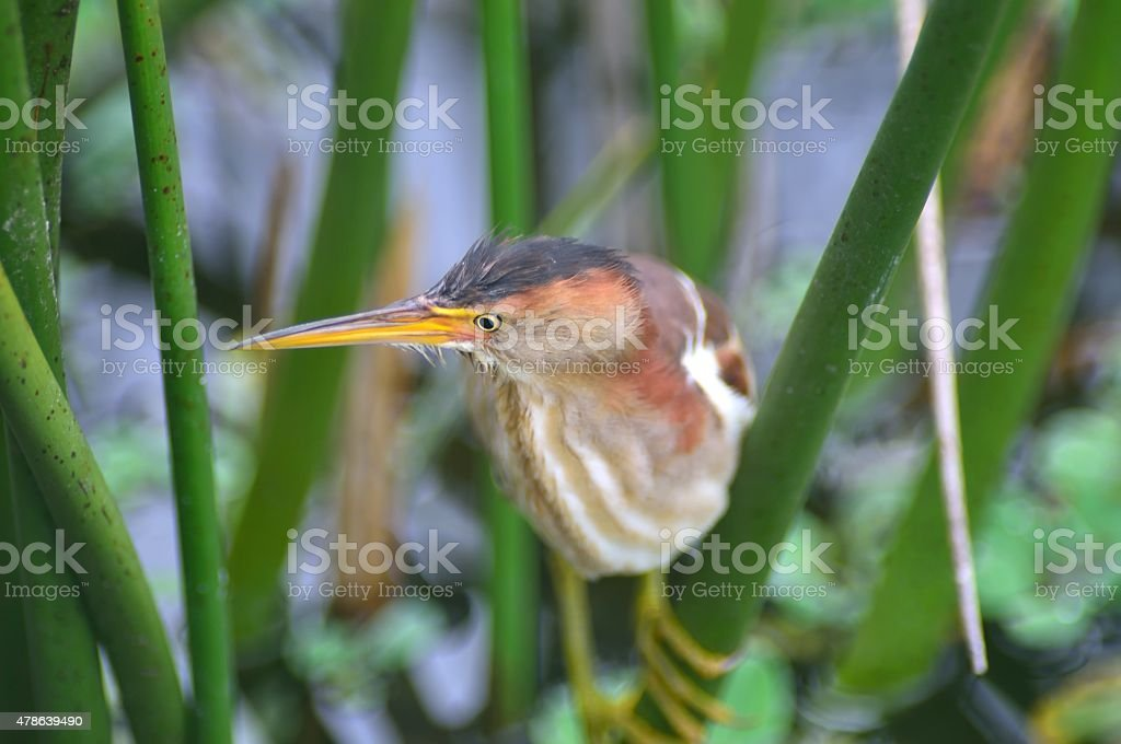Immature Green Heron Stalking stock photo