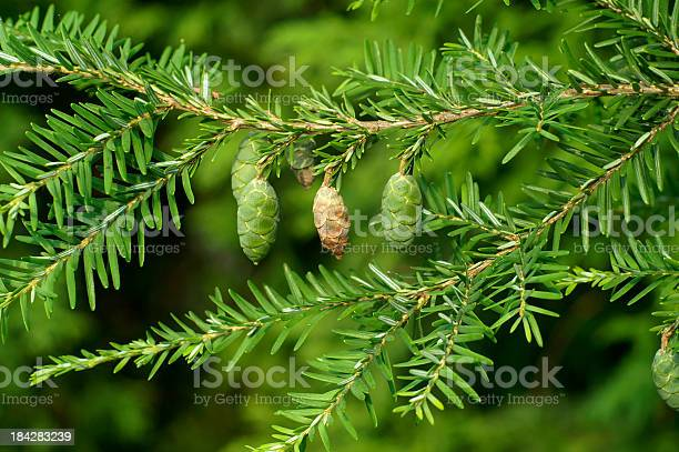 Photo of Immature Hemlock Seed Cones
