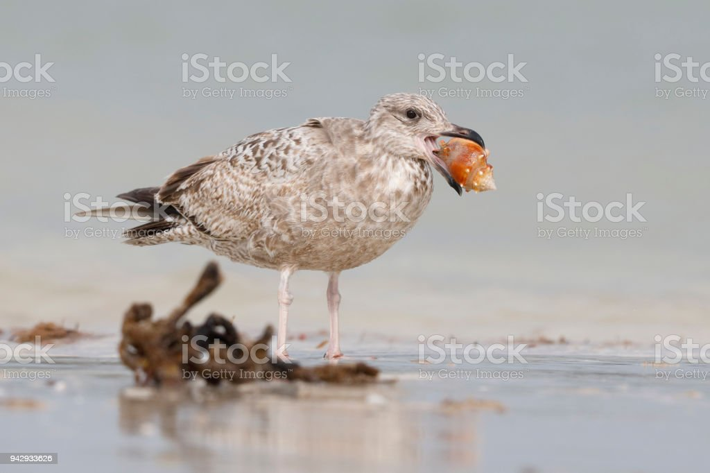 Immature Herring Gull holding a snail in its beak stock photo