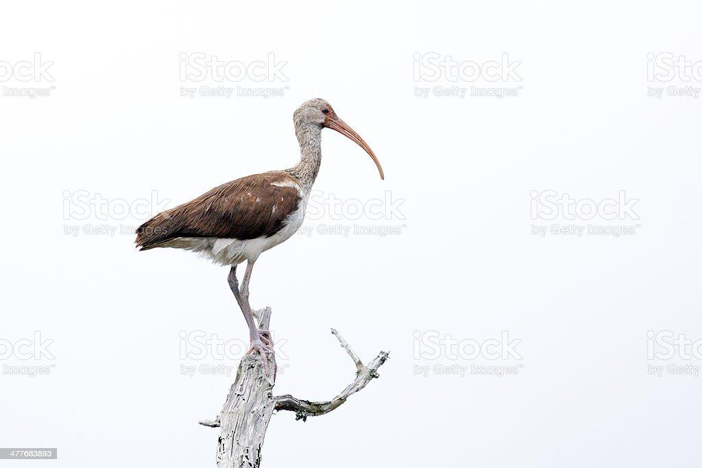 Immature Ibis stock photo