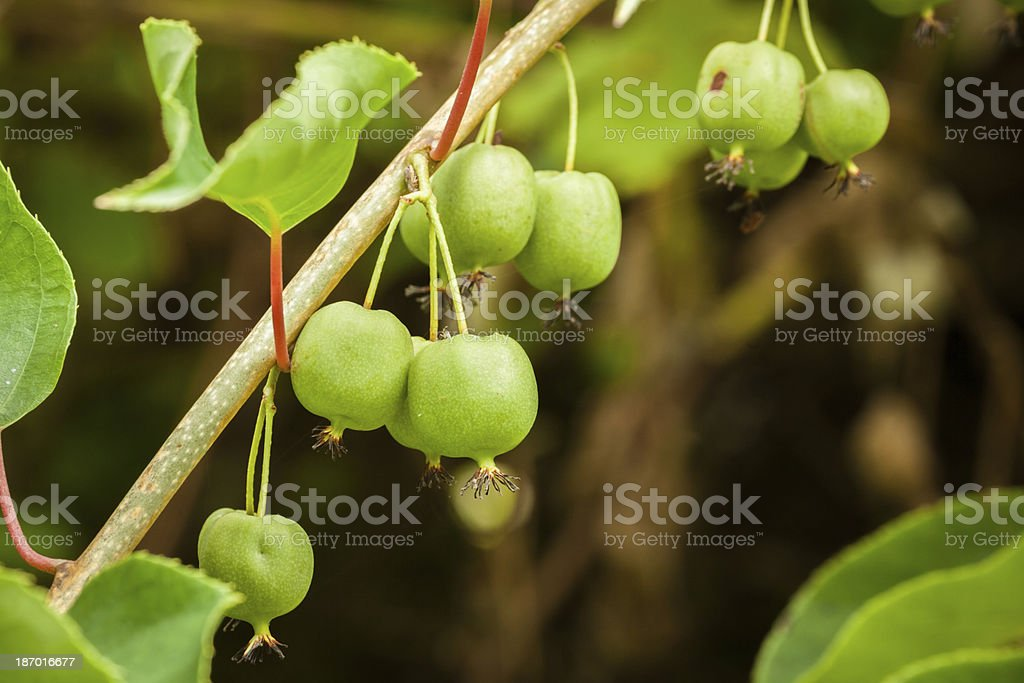 Immature Kiwi Fruit I royalty-free stock photo