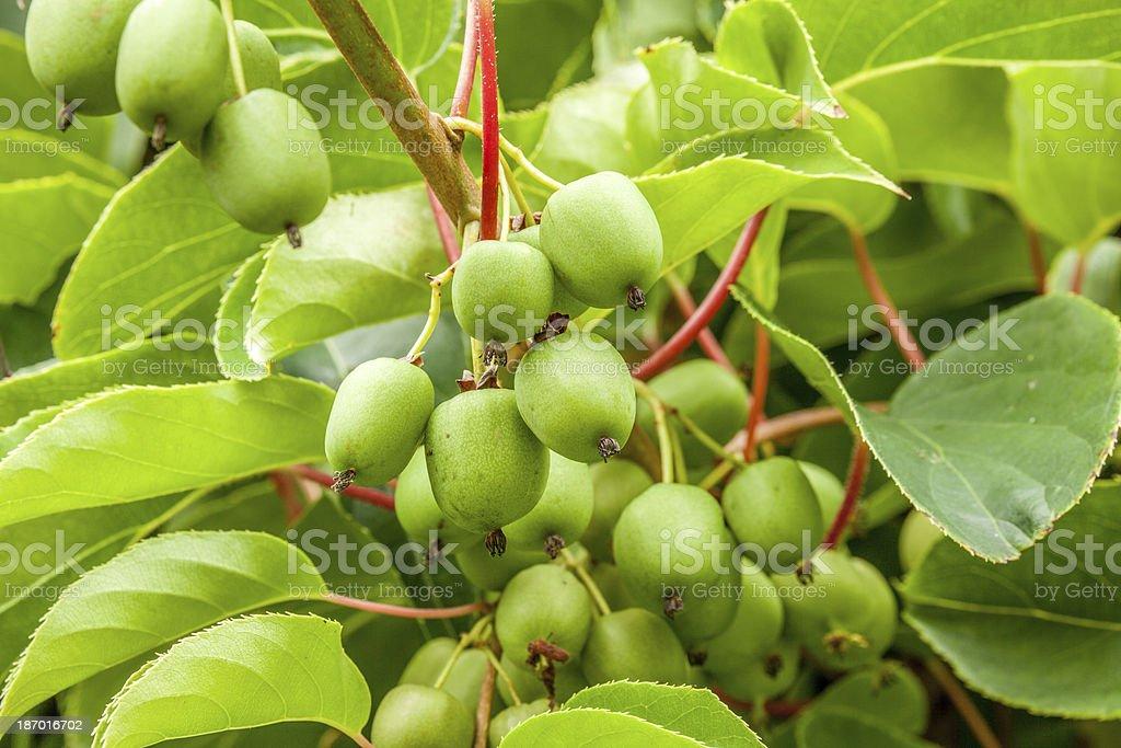 Immature Kiwi Fruit II royalty-free stock photo