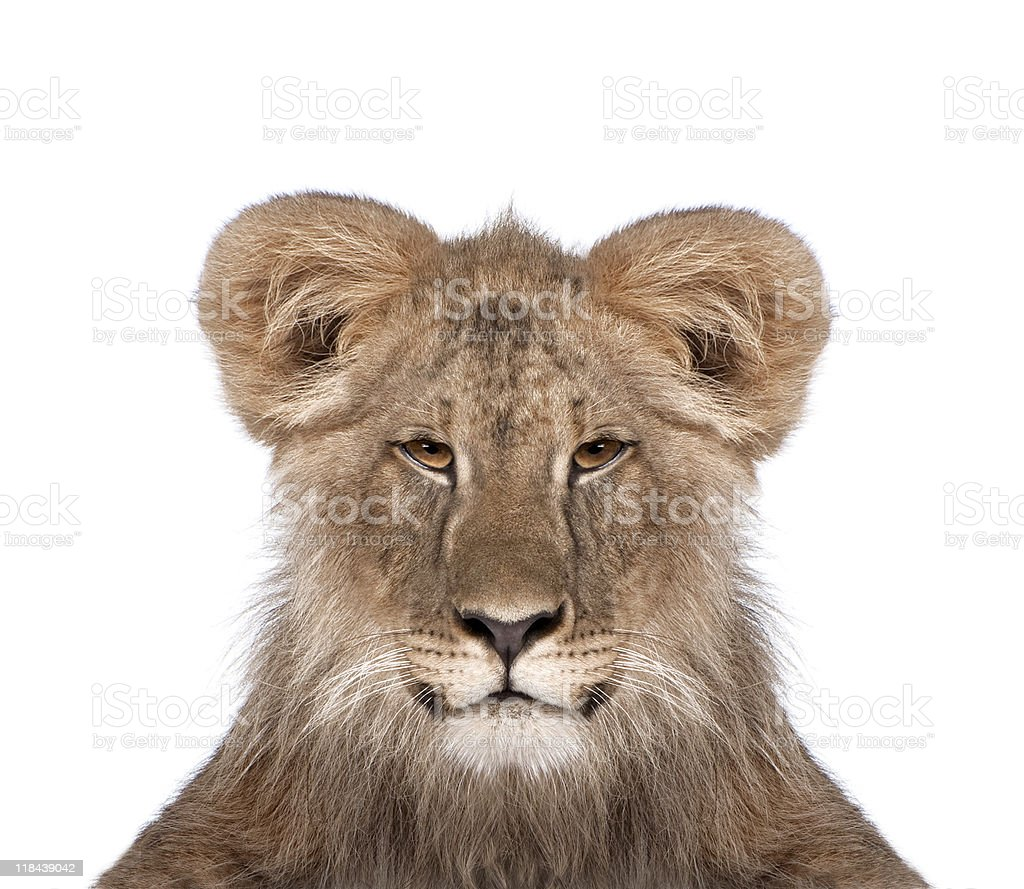 Immature lion in front of white background studio shot royalty-free stock photo