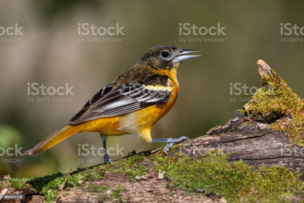 Immature Male Baltimore Oriole perched on a mossy log stock photo