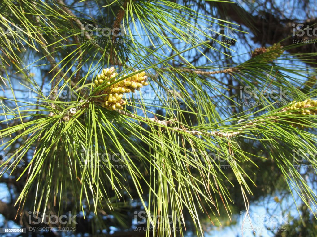 Immature male or pollen cones of pine tree ( Pinus pinaster or maritima ). Conifer cones . Tuscany, Italy stock photo