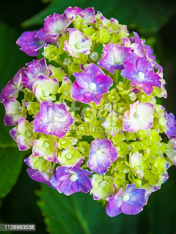 Close up of the early stages of the bloom cycle of a mophead hydrangea.