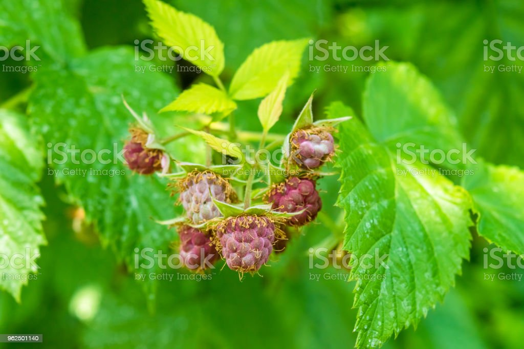 Immature raspberry (Rubus idaeus) - Royalty-free Agriculture Stock Photo