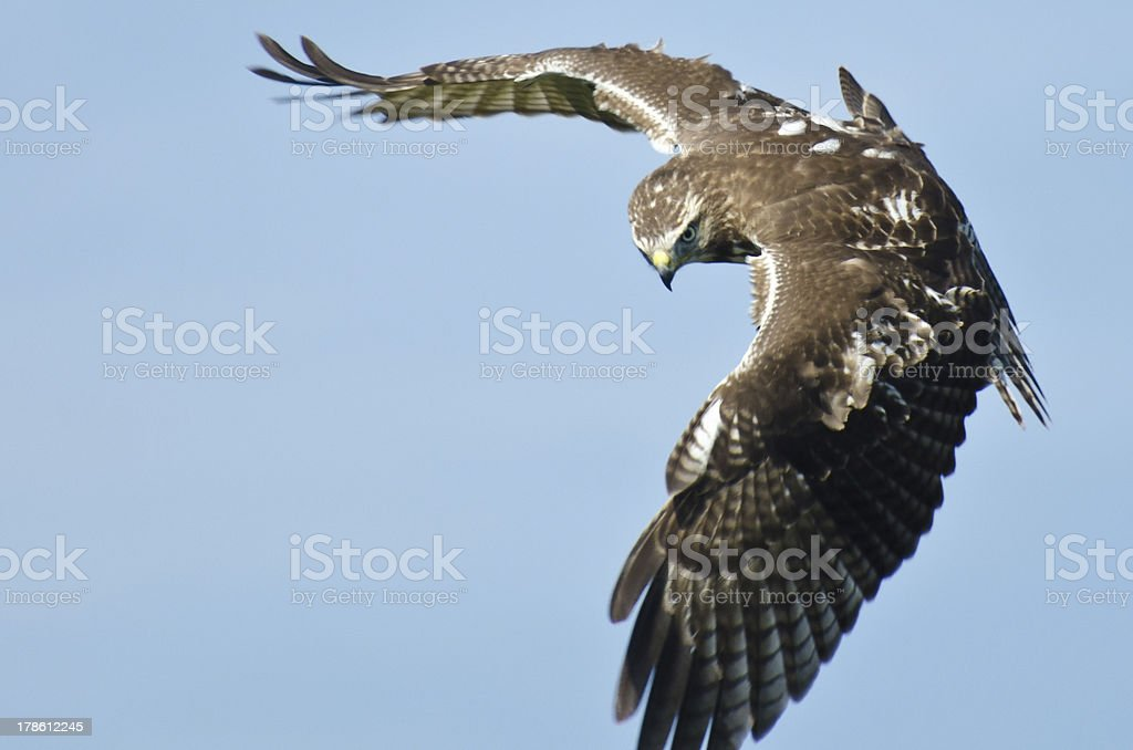 Immature Red Tailed Hawk on the Hunt royalty-free stock photo