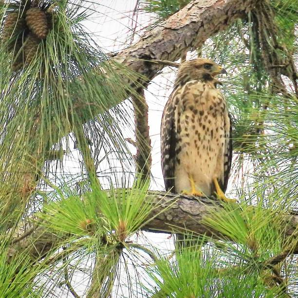 Immature Red-Shouldered Hawk Calling stock photo