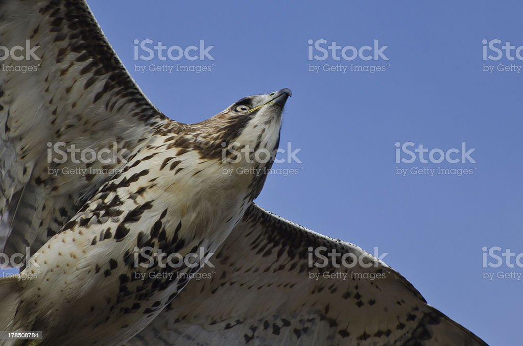 Immature Red-Tailed Hawk Flying in Blue Sky royalty-free stock photo