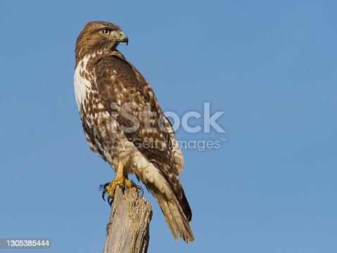 An Immature Red-tailed Hawk ( Buteo Jamaicensis ) on a top of a tree snag. Is a very common raptor in North America, often seen perched alongside of roadways. Has a blue sky background.