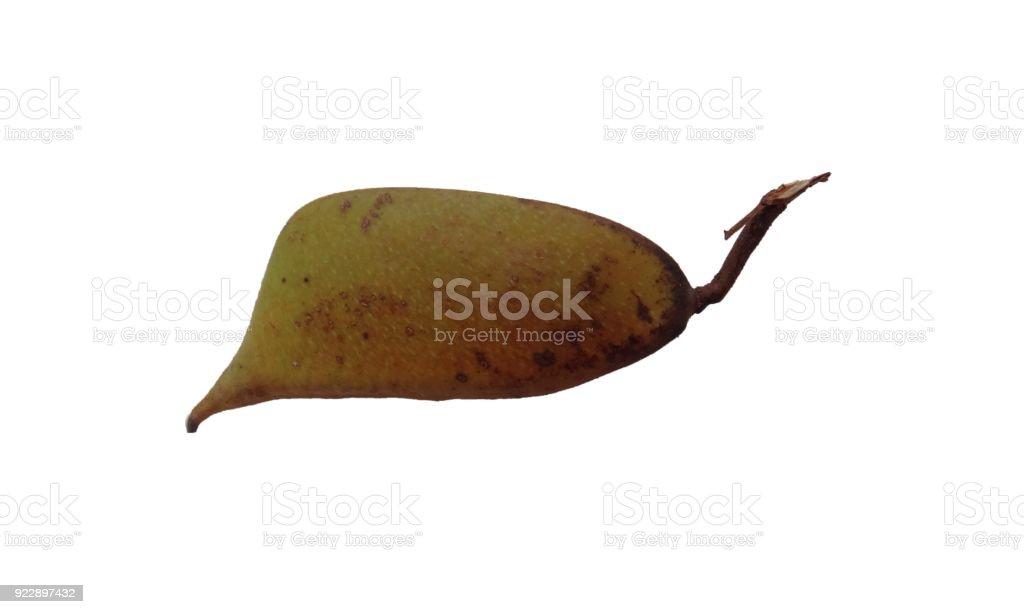 Immature sappanwood pod with white background stock photo