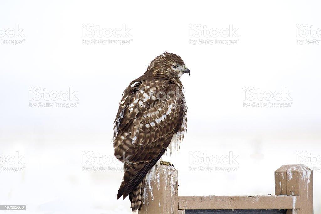 Immature Sharp-shinned Hawk stock photo
