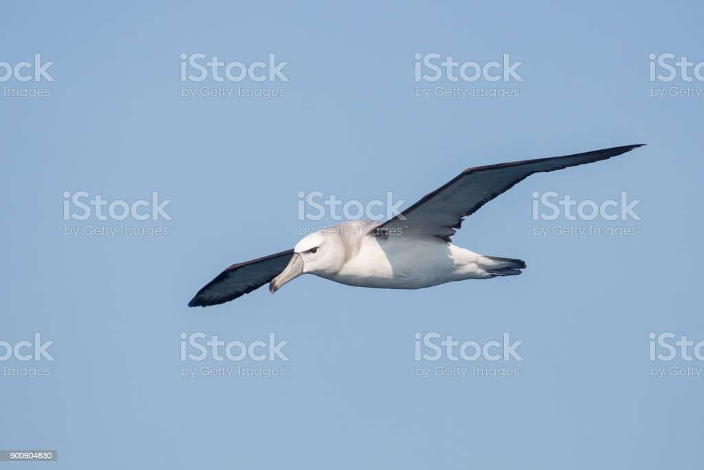 Immature Shy Albatross in flight stock photo