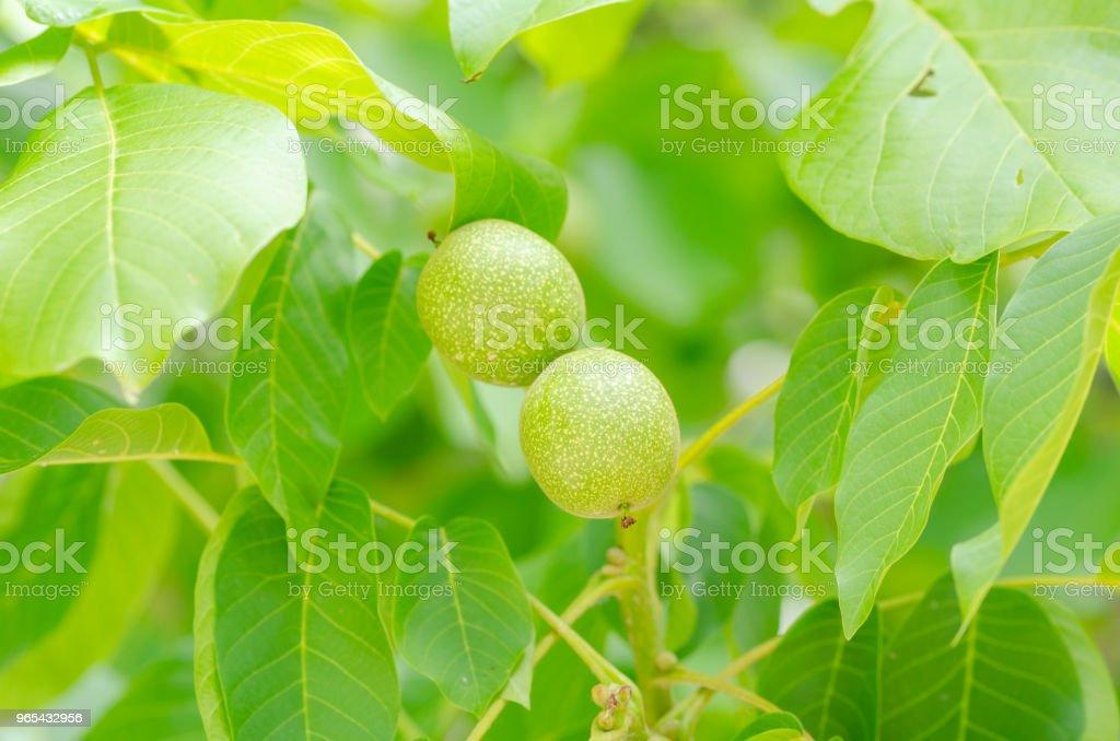 Immature walnuts on the tree royalty-free stock photo