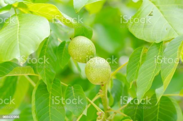 Foto de Imaturas Nozes Na Árvore e mais fotos de stock de Agricultura