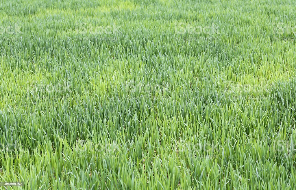immense wheat field with still small seedlings in spring stock photo