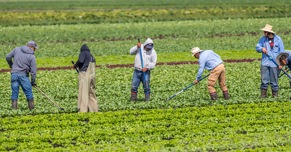 Victoria B.C. Canada-08/03/2020: Immigrant farm workers hoe weeds in a farm field of produce.