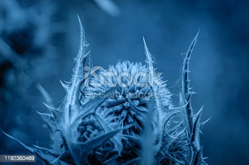 Single Globe Thistle Echinops. Close up of a head of a flower in megical blue colour.