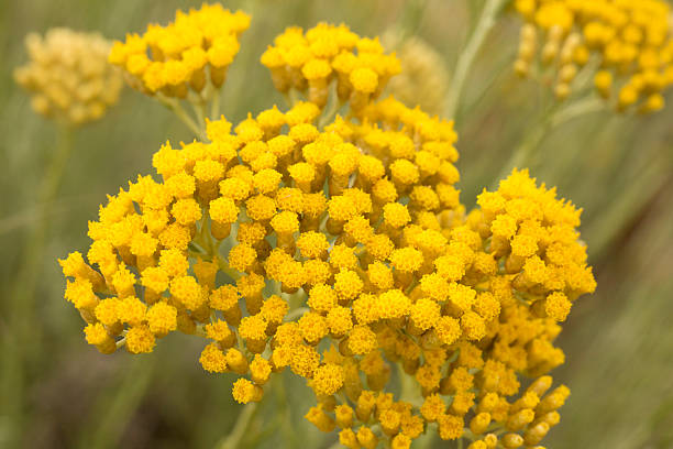Best Helichrysum Italicum Stock Photos, Pictures & Royalty