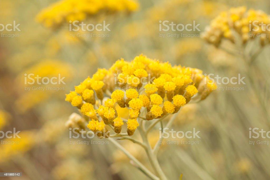 Immortelle - Ageless Flower stock photo