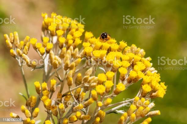 Photo of Immortelle yellow blossom flower