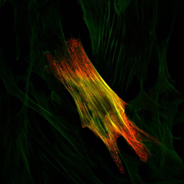 Immunoflourescence eine glatte muscle cell – Foto