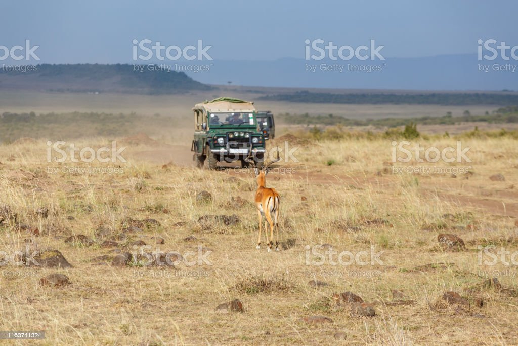 Impala and driving safari cars on the savannah in Masai mara, Africa
