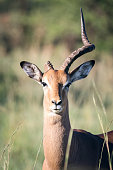 Impala antelope looking straight at camera with broken horn on safari