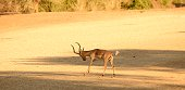 A medium sized antelope found in eastern and southern Africa.