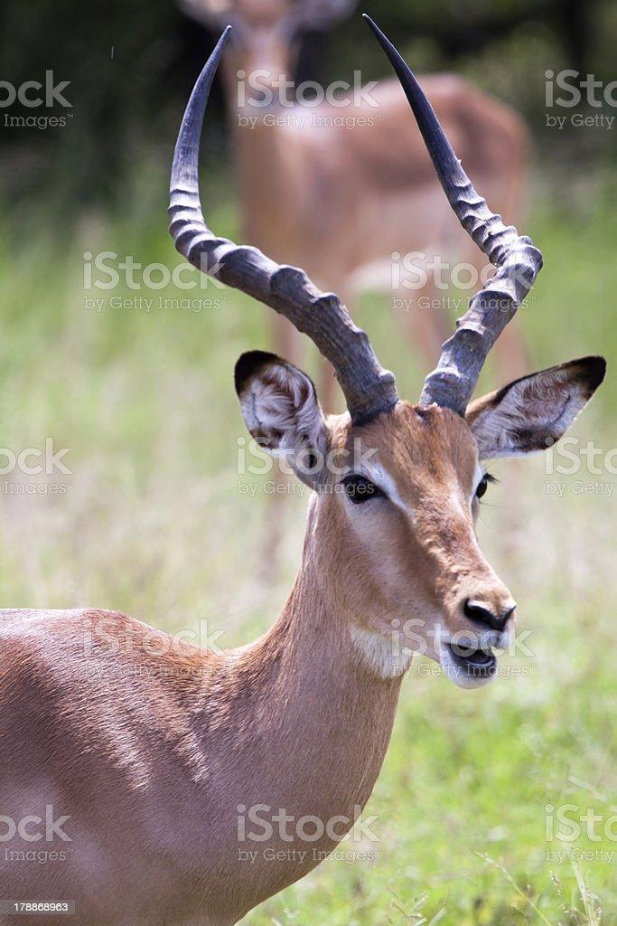 Impala antelope royalty-free stock photo