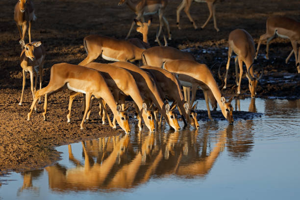 Impala antelopes drinking water in late afternoon light, Kruger National Park, South Africa stock photo