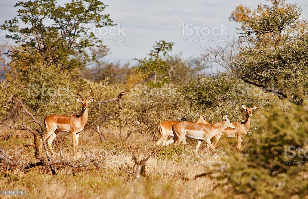 impala antelopes royalty-free stock photo