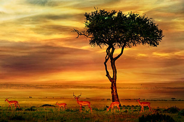 Impala at African Sunset Background Impala at African Sunset Background kruger national park stock pictures, royalty-free photos & images
