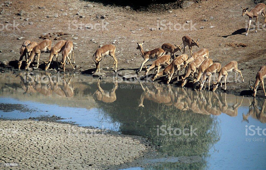 Impala no buraco de água foto de stock royalty-free