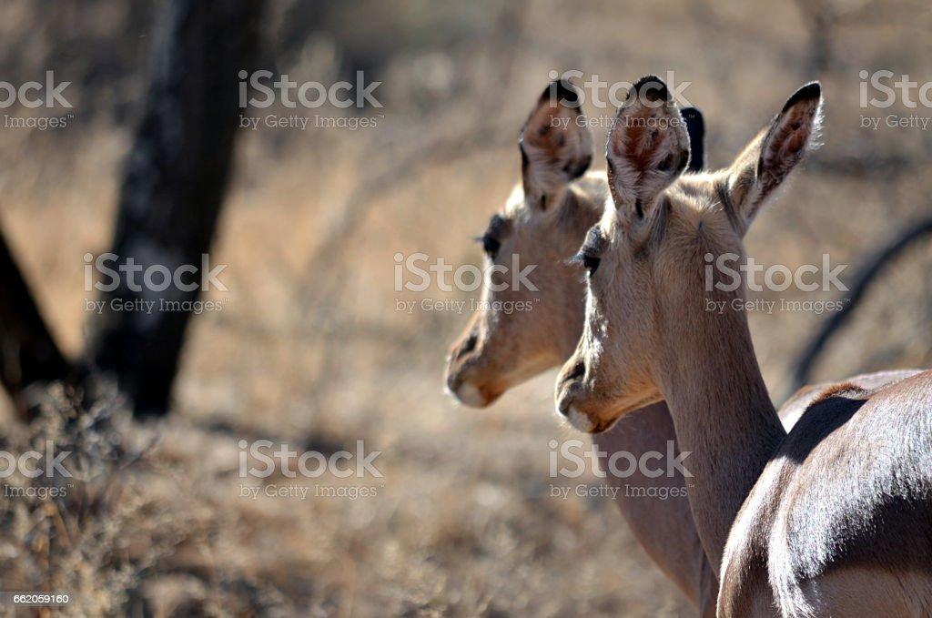 Impala Buck royalty-free stock photo